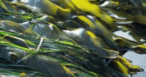 Les différents types d'algues